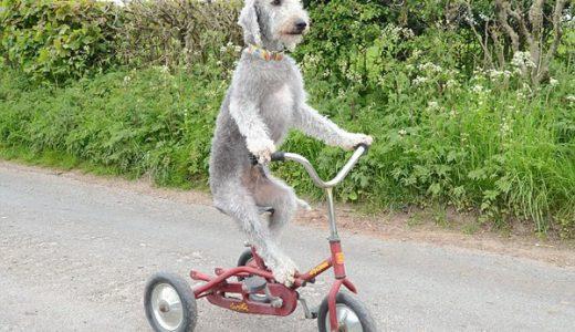 中の人など・・・自転車を軽快に乗りこなす犬が話題に