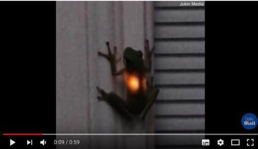 カエルにホタルの成分を融合させ「光るカエル」を爆誕させてしまう