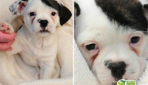 想像以上に「ヒトラー」にそっくりな犬「パッチ君」全米で大人気