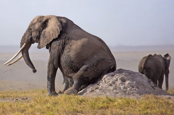 PAY-An-Elephant-uses-a-rock-to-scratch-its-bottom