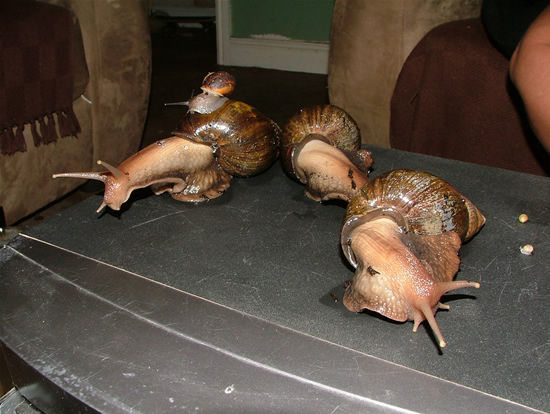 giant-african-snail-2
