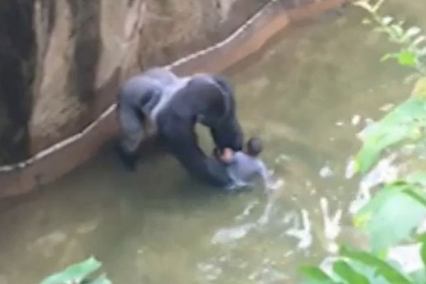 Boy-falls-in-to-Gorilla-enclosure-at-cincinnati-zoo