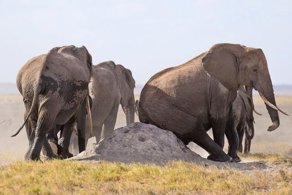 PAY-An-Elephant-uses-a-rock-to-scratch-its-bottom-1