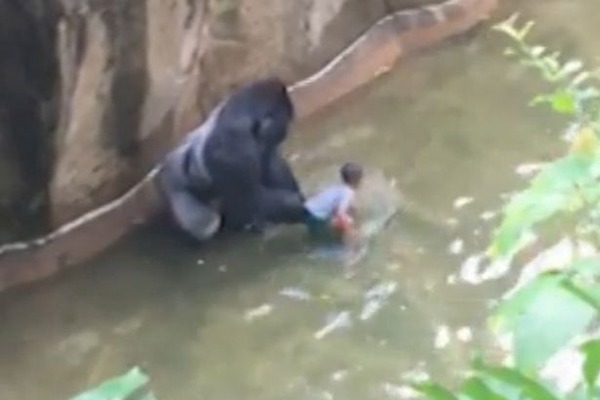 Boy-falls-in-to-Gorilla-enclosure-at-cincinnati-zoo-1